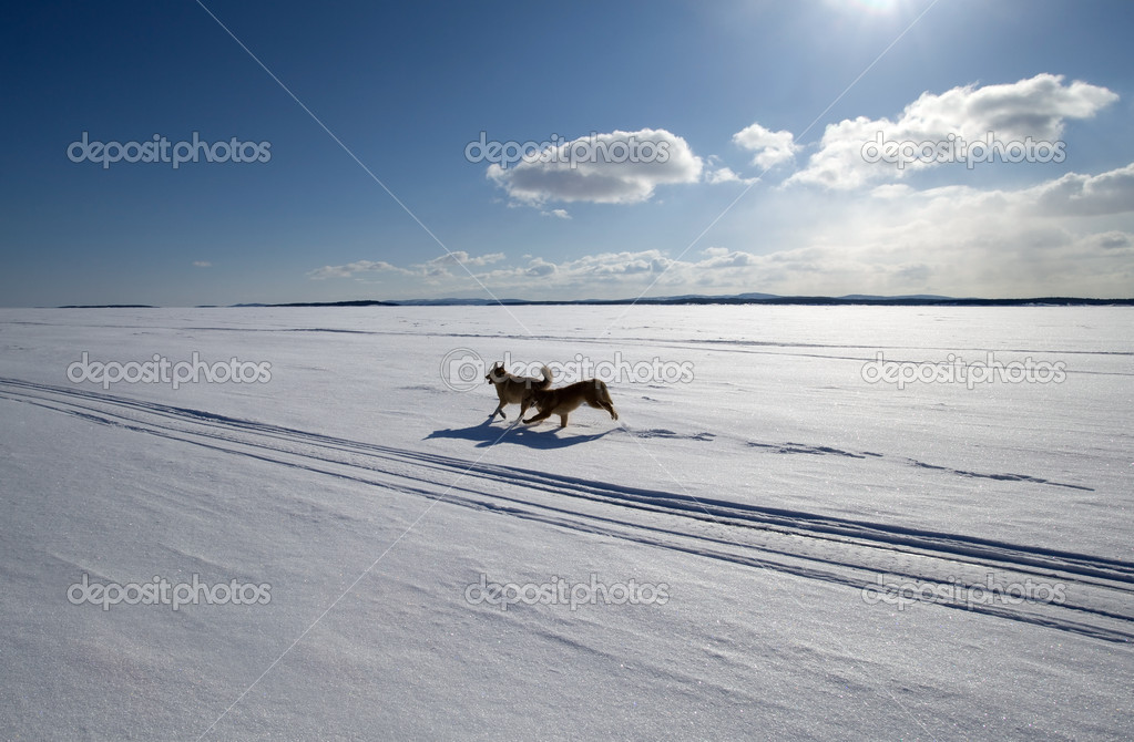 Two dogs running around the endless snow-covered field  in bright sunlight — Stock Photo #11151357