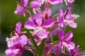 Flower willow-herb. ( Chamerion angustifolium) — Stock Photo