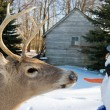 Big Buck and Snowman — Stock Photo #10972200