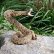 Rattle snake on a rock — Stockfoto