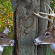Buck and doe with carved heart - Stock Photo
