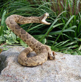 Rattle snake on a rock — Stock Photo