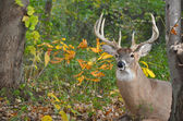 White Tail Buck — Stock Photo
