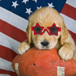 Stock Photo: Golden retriever with sunglasses
