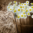 Daisy Basket with butterfly — Stock Photo