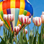 Hot Air Balloon over tulips — Stock Photo