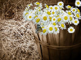 Panier de daisy avec papillon — Photo