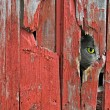 Cat peeking in hole — Stock Photo