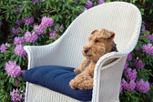 Welsh Terrier in garden — Stock Photo