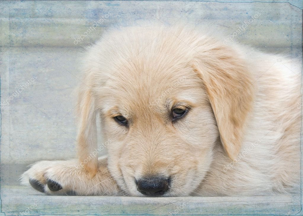 Golden Retriever puppy with soft texture overlay.  Stock Photo #11224111