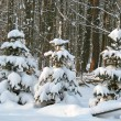 Snow covered pine trees - Stockfoto
