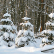 Snow covered pine trees - Photo