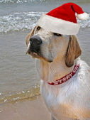 Santa Pup — Stock Photo