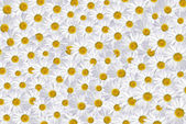 Daisies Galore — Stock Photo