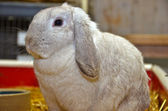 Lop eared bunny — Stock Photo