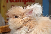 Fuzzy blond angora rabbit — Stock Photo