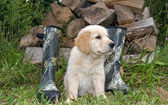 Golden retriever with boots — Stock Photo