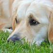 Golden retriever in grass — Stock Photo