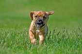 Puggle pup running in grass — Stock Photo
