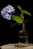 Hydrangea in vintage bottle — Stock Photo