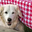 Golden retriever under table — Stock Photo