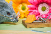 Rat with cheese in trap — Stock Photo