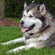 Malamute in grass — Stock Photo