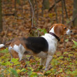 Beagle in autumn woods — Stock Photo