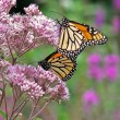 monarch butterflies on wildflower — Stock Photo