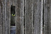 Cat peeking through barn hole — Stock Photo
