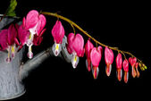 Bleeding hearts in old watering can — Stock Photo