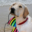 Labrador Retriever with bikini top - Stock Photo