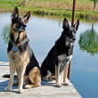 German Shepherd dogs on dock — Stock Photo