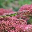 Praying mantis on a flower — Stock Photo