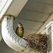 Bird with nest on rain spout — Stock Photo