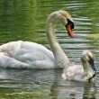 Swan with cygnet — Stock Photo
