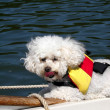 Poodle with life jacket — Stock Photo