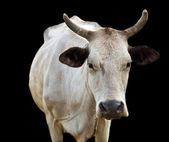 Isolated australian cow with horns on black — Stock Photo