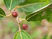 Ficus opposita Australian native plant flora sandpaper fig fruit — Stock Photo