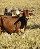 Australian beef cow — Stock Photo