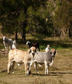 Australian cattle country — Stock Photo