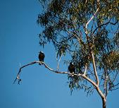 Australian magies in a tree — Stock Photo
