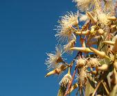 Australian Eucalyptus white flowers against blue sky — Stock Photo