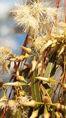 Australian native eucalytus flowerbuds — Stock Photo