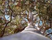 Australian Tree Forest Red Gum Eucalyptus tereticornis — Stock Photo