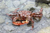 Marine crab — Stock Photo