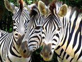 Zebra Trio — Stock Photo