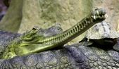 Gavial Indian (Gavialis gangeticus) in Zoo — Stock Photo