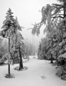 Dark Forest in Winter Landscape (black & white) — Stock Photo