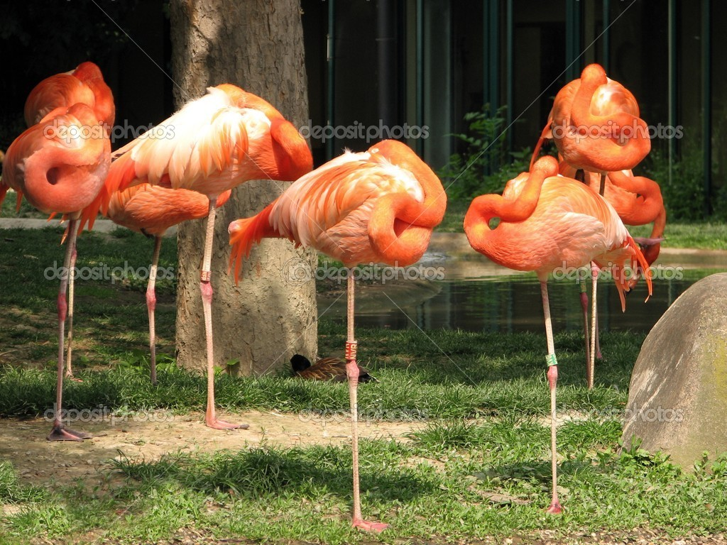 Как спят фламинго